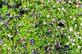 pic of trumpet flower  - Flower background texture beautiful violet Pink Trumpet Vine Romantic - JPG