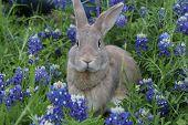 image of bluebonnets  - Sweet bunny sitting in a field of Texas Bluebonnets - JPG