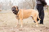 image of dog park  - adult bullmastiff dog stands with trainer outside in the park - JPG