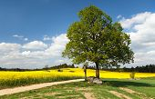 image of crucifix  - View of way between rapeseed field and lime tree with crucifix and beautiful clouds  - JPG