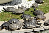 stock photo of terrapin turtle  - Group of turtles sunning themselves on the tiles at the edge of a pond as they warm up to regulate their body temperature - JPG