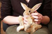 picture of dwarf rabbit  - Woman holding little cute rabbit close up - JPG