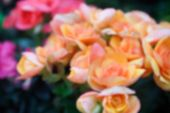 pic of begonias  - blurry defocused image of orange begonia flower in flowerbed for background - JPG
