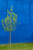 picture of linden-tree  - Small tree isolated on blue backdrop rough - JPG