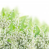 image of lilly  - lilly of the valley  with green leaves close up on white background