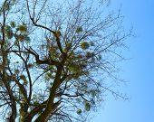 stock photo of mistletoe  - Balls of mistletoe growing in a tree on blue sky background - JPG