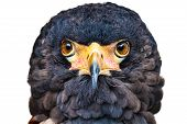 pic of snake-head  - Close up head portrait of a Bateleur eagle with  its face feathers displayed - JPG