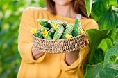 stock photo of cucumbers  - Young woman in a greenhouse with cucumber plants - JPG