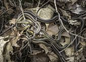 Постер, плакат: Garter Snakes