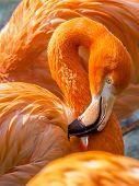 stock photo of flamingo  - close up of a pink flamingo - JPG