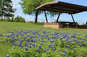 foto of bluebonnets  - Texas picnic area covered in bluebonnets in spring - JPG