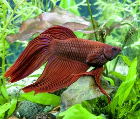 foto of fighter-fish  - Red Veiltail mail Beta or Siamese Fighting Fish in planted tank