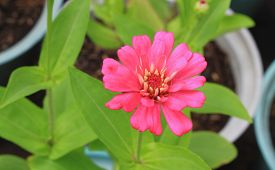 stock photo of zinnias  - Zinnia flower or zinnia flower of nature background