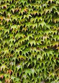 Virginia Creeper (Parthenocissus Quinquefolia) On A Wall