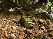 Green Frog 007