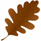 Autumn oak leaf isolated over a white background.
