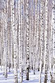 stock photo of birching  - Winter birch forest  - JPG
