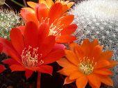 Rebutia Cacti Flowers 01
