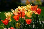 Yellow And Orange Tulips