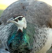 stock photo of peahen  - A female peacock or peahen - JPG