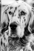 pic of english setter  - Black and white portrait of an English Setter  - JPG