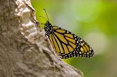 picture of cocoon tree  - Black and yellow butterfly on tree branch - JPG