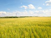 Young Green Barley Corns Growing In Field, Light At Horizon.  Sun Above The Horizon poster