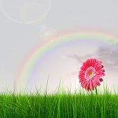 high resolution 3d green grass over a blue sky with a rainbow as background and a nice pink gerbera flower at horizon