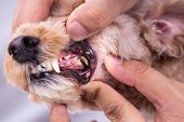 Vet Showing Pet Dog Teeth Coated With Plaque And Tar poster