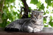 Portrait Of British Shorthair Cat Lying On A Background Of Green Leaves. poster