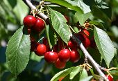 Red Cherries On Cherry Tree In Orchard For Picking. Close-up On Ripe Cherry Fruits On A Tree Branch, poster