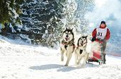stock photo of sled dog  - Sled dog racing  - JPG