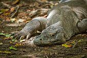 komodo dragon in Rinca Island, Indonesia