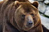 Brown Bear, Or Ordinary Bear (lat. Ursus Arctos) Is A Predatory Mammal Of The Bear Family; One Of Th poster