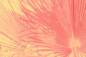 Abstract Tropical Nature Background. Large Round Palm Tree Leaves In Vintage Gradient Pink Yellow To poster
