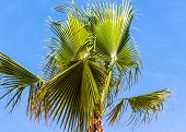 Borassus Flabellifer Asian Palmyra Palm (commonly Known As Doub Palm, Tala Palm, Toddy Palm, Wine Pa poster
