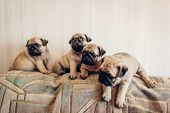 Pug Dog Puppies Sitting On Couch. Little Puppies Having Fun. Breeding Dogs poster