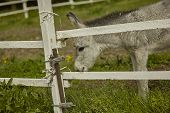 Little Donkey In The Fence poster