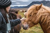 Icelandic Horse In The Field Of Scenic Nature Landscape Of Iceland. The Icelandic Horse Is A Breed O poster