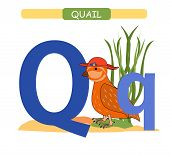 Letter Q And Funny Cartoon Quail. Animals Alphabet A-z. Cute Zoo Alphabet In Vector For Kids Learnin poster