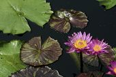 Two Water Lillies