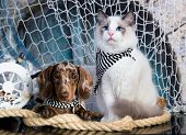 cat and dog, dachshund puppy chocolate merle color and kitten regdoll, kitten and puppy poster