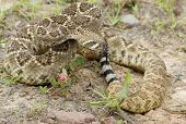 picture of western diamondback rattlesnake  - Western diamondback rattlesnake coied and tasting the air