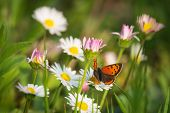 Nature Background Butterfly. Butterfly Insect In Nature. Nature Insect Butterfly On White Flowers Pl poster