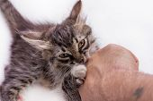 Little Grey Kitty Playing, Biting Mans Hand, White Background With Copy Space poster