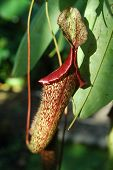 Nephentes Flower