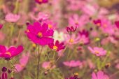 Pink Summer Flowers. Pink Toning In The Photo. Pink Flowers And Pink Toning. poster