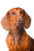 Dachshund Dog on isolated white