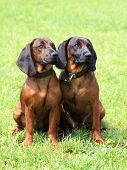 stock photo of scenthound  - Two Bavarian Mountain Scenthound dogs in the garden - JPG
