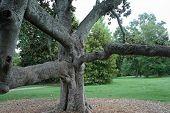 Gnarled Southern Magnolia Tree